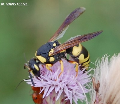 Ancistrocerus sp