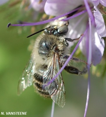 Anthophora quadrimaculata