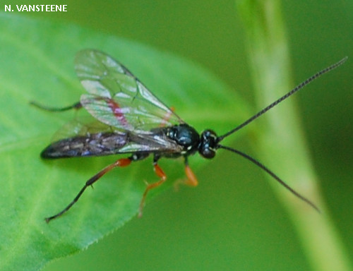 Cratichneumon sp